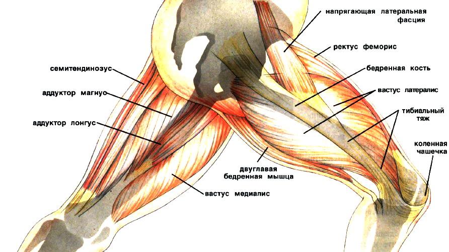Строение колена и бедра