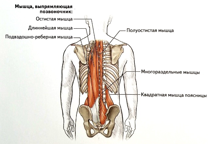 Мышца, выпрямляющая позвоночник, многораздельные мышцы и квадратная мышца поясницы