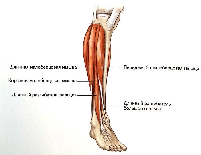 Мышцы голени вид спереди