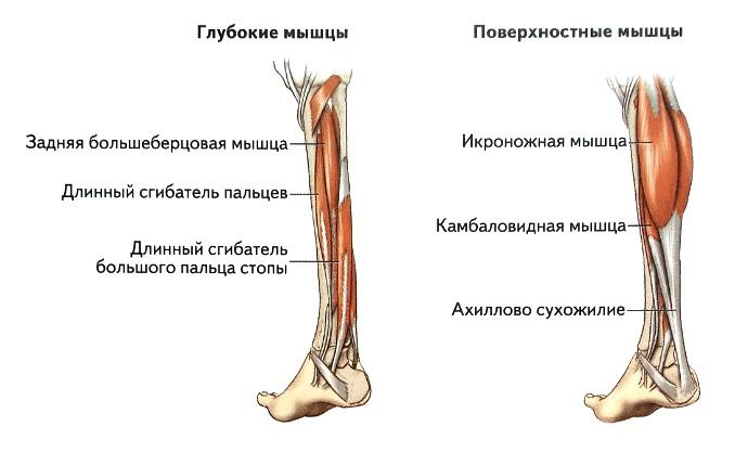 Мышцы голени вид сзади