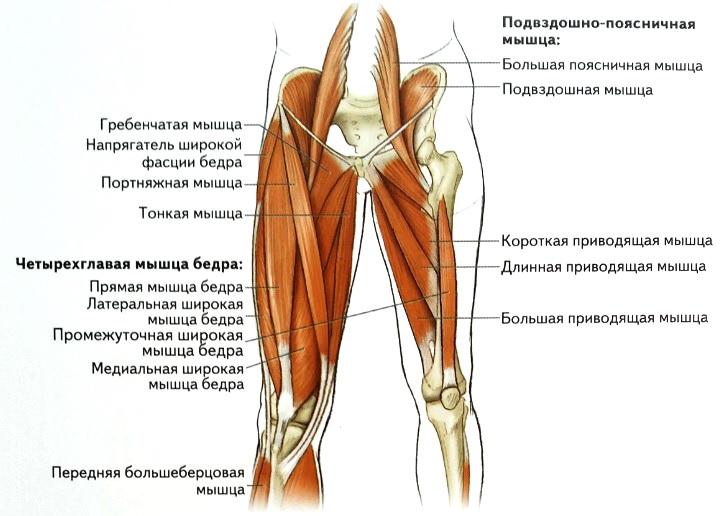 Мышцы бедер Анатомия мышц