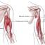 Трицепс анатомия